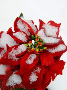 Monet variety of poinsettia flower | Roses and Blooms | Pinterest ...