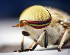 Male Striped Horse-Fly Tabanus lineola Macro Photography