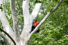 "Showcasing the highest level of professional skills, the event also provides a competitive learning environment for those in the industry. In addition, Garden visitors can take part in ""Canopy Climb 1: Learning the Ropes"" offered by the Missouri Botanical Garden's education division."