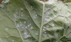 Hatékony védekezés kiskertedben a liszteske ellen - Egészségtér - Természetes egészség