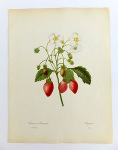 Wild Strawberry Poster, Redouté Picture, Botanical Illustration, Fraisier, Vintage Botanical Poster, Very large Botanical Print by PeonyandThistlePaper on Etsy https://www.etsy.com/listing/242296035/wild-strawberry-poster-redoute-picture