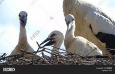 #Stork chicks in a nest made of branches #aves #birds