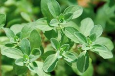 The Ultimate Guide to Fresh Herbs — Majoram medicinal use: insomnia, arthritis, headaches and more