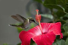 https://flic.kr/p/jmSJLm | Hummingbird Landing on Hibiscus_DSC8408 | Ruby-throated Hummingbird landing on a Hibiscus flower.