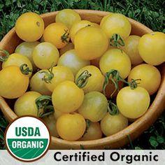 Tomato, Lemon Drop Organic Catalog #1233A  (Solanum lycopersicum) Winner of SSE's 2010 Tomato Tasting. Seed originally from Florida SSE memb...