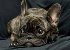 That face!! French Bulldog.