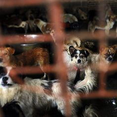 Right now, thousands of dogs are being transported under cruel conditions to the #Yulin #dogmeat 'festival.' Sadly, many of these animals are stolen pets -- many still wearing their collars. You can help fight this cruelty, ask Party Secretary Peng Qinghua to #stopyulin: bit.ly/endyulin (active link in bio) #stopyulin2015. Donate to help #HumaneSocietyInternational: bit.ly/helpstopyulin