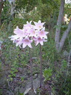 Añañucas, flor típica de la cuarta regíon de Chile, que florecen primero y después aparecen las hojas