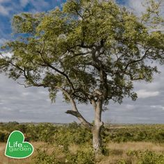 #Arborweek #treeoftheyear Tree of the year: Marula💛 Uses🤯: 1. A decoction of the bark treats dysentery, diarrhoea, rheumatism and has a prophylactic effect against malaria.  2. The bark is an excellent remedy for haemorrhoids. 3. Roots and bark are also used as laxatives.  4. A drink made from marula leaves is used for the treatment of gonorrhea.   #HappyArborweek #lifeisagarden Life Isa, Roots, Country Roads, Leaves, Drink, Garden, Beverage, Garten, Gardens