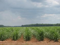 Louisiana Sugar Cane. Sweet memories of running through the rows playing with family :)