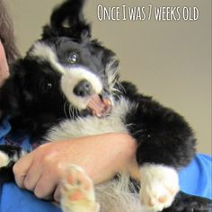 """Once I was 7 Weeks Old..."" Puppy Asha the border collie..."