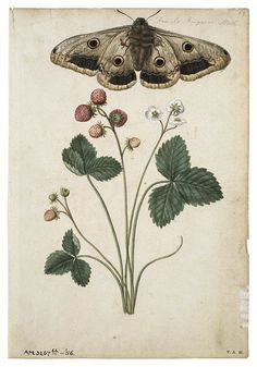 Moth and strawberries