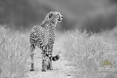 A black-and-white photo of a cheetah...