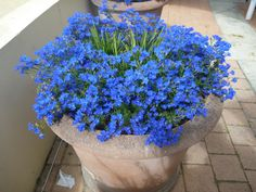 Gardening With Containers Best Australian Natives to plant in pots Lechenaultia biloba - blue lechenaultia - Australian Native Garden, Australian Native Flowers, Australian Plants, Cottage Garden Plants, Garden Shrubs, Garden Pots, Garden Ideas, Glass Garden, Container Plants