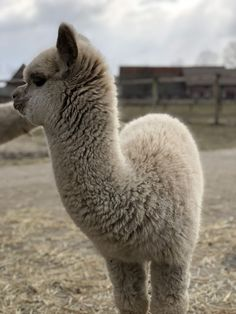 Cute Wild Animals, Animals And Pets, Funny Animals, Alpacas, Cute Animal Photos, Animal Pictures, Baby Llama, Llama Llama, Sweet Dogs