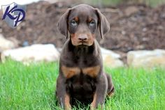 Tyson – Doberman Pinscher Puppies for Sale in PA | Keystone Puppies