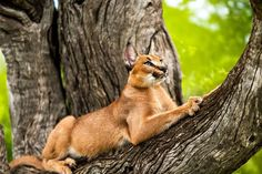 Fortunately, caracal pets adapt quickly and easily to new environments so the change should be easy. Caracal pets are friendly animals and should bond well with children and other pets. Caracal Caracal, Wild Cat Species, Cat Stretching, Exotic Cats, Kinds Of Cats, Lovely Creatures, Small Cat, My Animal, Big Cats