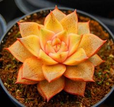 Echeveria Dionysos : I love thisnsomeone buynthis for me please