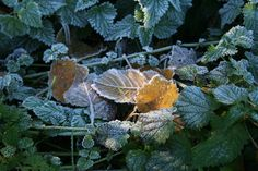 Winter leaves  (c) R Neil Marshman