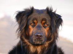 Cleo (Deutscher Schäferhund,  Münsterländer,  Rottweiler,  Siberian Husky) Mischling Mix Unique Dog Breeds, Rare Dog Breeds, Popular Dog Breeds, Rottweiler Husky Mix, Golden Retriever Mix, Puppy Images, Dog Mixes, Raining Cats And Dogs, Schaefer