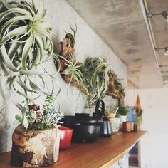 neru0414さんの、流木,キセログロフィカ,エアープランツ,観葉植物,無垢の天板,コンクリート打ちっ放し,棚,のお部屋写真