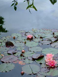 lotuses at Volunteer Park