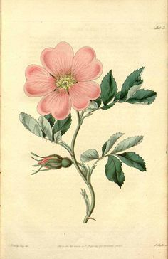 Rosa laxa - J. Lindley - Rosarum Monographia