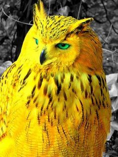 beautiful Stunning golden owl You are in the right place about Mammals lapbook Here we offer you the most … Owl Photos, Owl Pictures, Exotic Birds, Colorful Birds, Rare Birds, Rare Animals, Cute Baby Animals, Strange Animals, Animals Dog