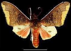 Arctiarpia melanopasta