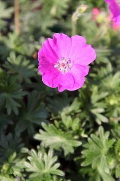 Ooievaarsbek (Geranium sanguineum 'Max Frei')