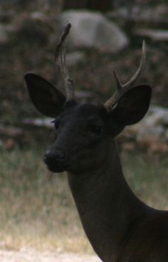 """This is a """"melanistic"""" Black deer. the oposite of the albino cerf noir """"mélanique"""". Rare Animals, Animals And Pets, Strange Animals, Beautiful Creatures, Animals Beautiful, Melanistic Animals, Black Deer, Black White, Oh Deer"""