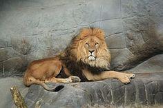Lion, Des Animaux, King, Sauvages