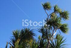Cabbage Tree (Cordyline Australis), New Zealand Royalty Free Stock Photo Abel Tasman National Park, New Zealand Landscape, Tree Images, Kiwiana, Image Now, Cabbage, National Parks, Royalty Free Stock Photos, News