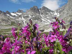 Wildflowers, Wind River Mountains, Wyoming, en route to Gannett Peak.