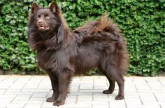 Gross Spitz - German Spitz (giant)