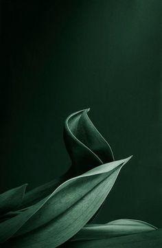 Dark green leafs