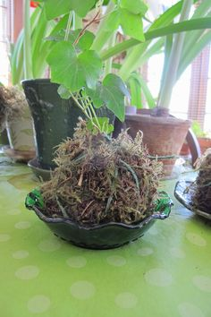May Dreams Gardens: Kokedama - Must be willing to make a little bit of a mess...