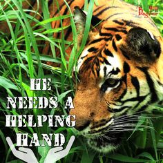 Help us save the speedily extincting majestic #tigers with our trust Jai Baghesur.