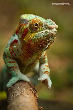 Chameleon by Peter Krejzl