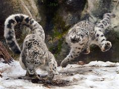 Beautiful Cats, Animals Beautiful, Cute Funny Animals, Cute Cats, Big Cats, Cats And Kittens, Snow Leopard Tattoo, Animals And Pets, Baby Animals