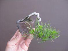 盆栽:赤松をダイエットする|春嘉の盆栽工房