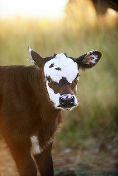 Cows in the Tallgrass