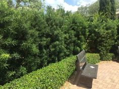 Make It Green: 6 hedges that hide, thrive in SWFL Tropical Landscaping, Landscaping Plants, Landscaping Ideas, Podocarpus Hedge, Craftsman Bungalow Exterior, Evergreen Hedge, Screen Plants, Plants For Sale Online, Modern Planters