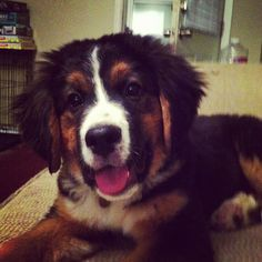 Bernese Mountain Dog/St Bernard Mix- Tater!