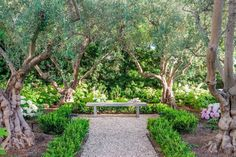 When building and designing this house, the goal was to make something new feel like it was in fact not new at all. Clark and White Landscape designed a gravel path framed by low hedges and hydrangeas through a small grove of 35-year-old olive trees in the backyard.