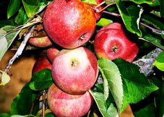 Apple Types to Look for