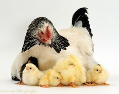 chick and hen - Google Search