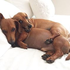 I get to be the big spoon tonight, Henry. It was your turn last time.  #Spooning #WienerDogWorld  • Photo  @henryloveskiki