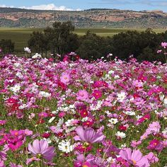 Cosmos flowers in Ficksburg - Free State. Every March and November respectively our countryside explodes with colour when pretty pink and white cosmos flowers bloom in early autumn and then again in late summer. Click on pic to find where to stay in Fiksburg - Free State