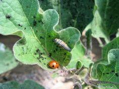Καταπολέμηση μελίγκρας και ψώρας φυτών Garden Pests, Growing Herbs, Plant Leaves, Fruit, Flowers, Nature, Plants, Gardening, Vegetables